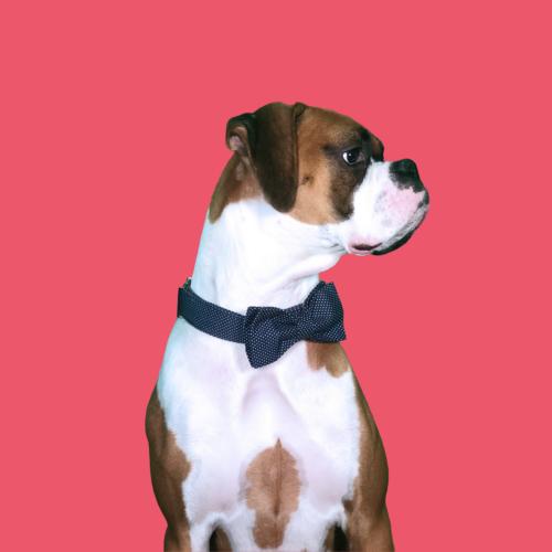 Max The Boxer