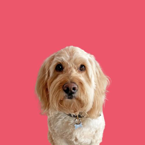 Ringo Dog
